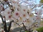 Sakura072.JPG